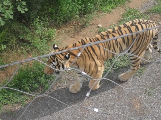 动物园老虎专用网